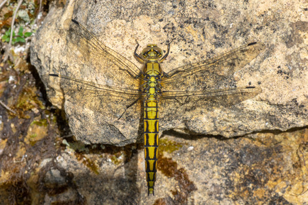 Black-tailed skimmer (Orthetrum cancellatum) female. Yellow dragonfly in the family Libellulidae, at rest