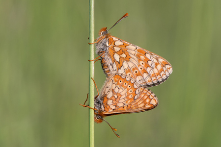 Marsh fritillaries (Euphydryas aurinia) in cop. Two of Britains most threatened butterflies mating, on grassland in Wiltshire