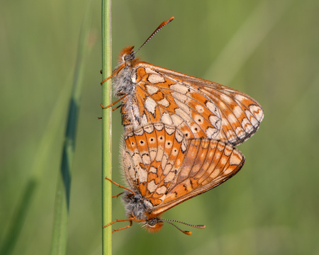 Marsh fritillaries (Euphydryas aurinia) mating. Two of Britains most threatened butterflies in cop, on grassland in Wiltshire