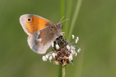 Small heath butterfly (Coenonympha pamphilus) on plantain. Small grassland butterfly in the family Nymphalidae nectaring in Wiltshire, UK Reklamní fotografie