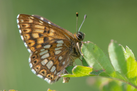 Duke of Burgundy fritillary butterfly (Hamearis lucina) underside. Underside of male insect in the family Riodinidae, perched on leaf Imagens