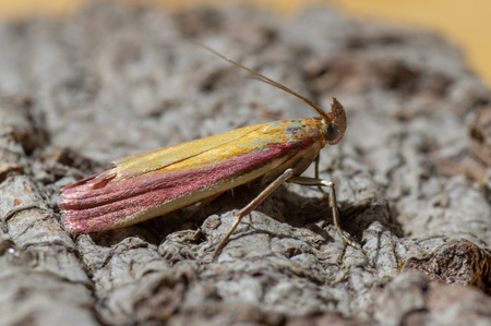 Insect in the family Pyralidae at rest, with striking purple and yellow colouration
