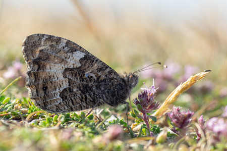 Butterfly in the family Nymphalidae at rest on ground with underside of wings visible Reklamní fotografie