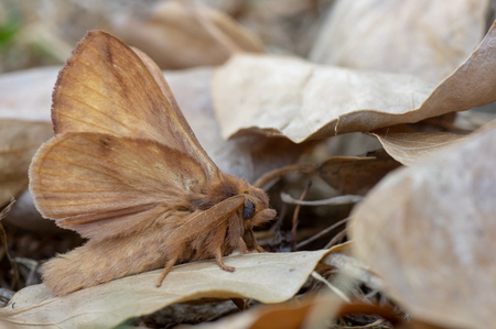Camouflaged moth in the family Lasiocampidae, with underside of wings visible
