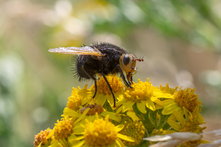 The largest European tachinid, in the family Tachinidae, with hairy black thorax and abdomen Reklamní fotografie