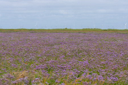 Expanse of purple flowers of plant in family Pumbaginaceae, at Gibralter Point in Lincolnshire, UK