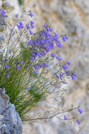 A striking plant in the family Campanulaceae, growing on sheer rock face in quarry