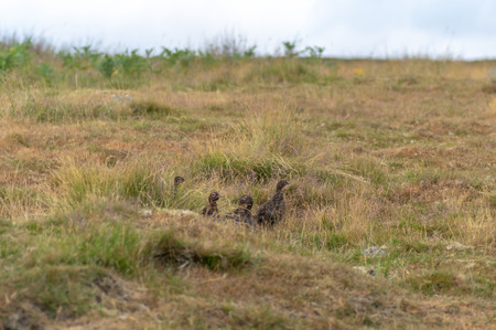 Covey of game birds camouflaged on North Yorkshire Moors, England, UK