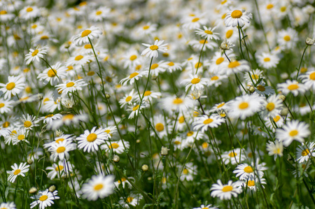 Mass of flowers in the family Asteraceae growing in a British calcareous meadow