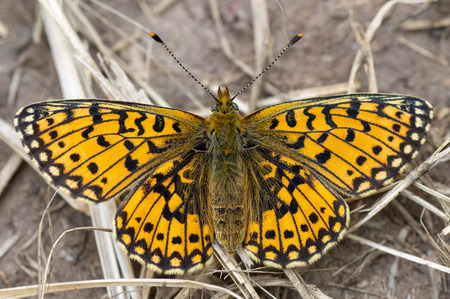 Butterfly in the family Nymphalidae, basking at rest showing mosaic pattern on open wings