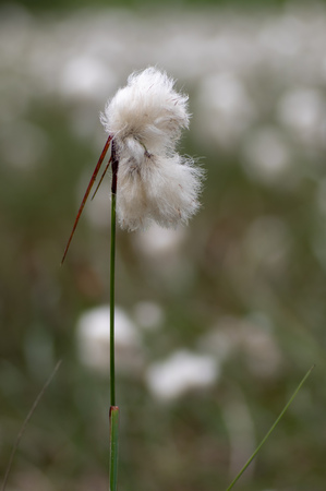 Sedge in the family Cyperaceae, with white cotton-like threads giving the appearance of cotton wool