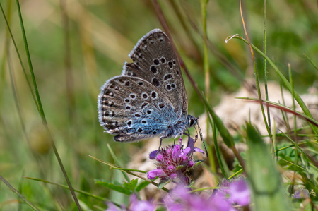 Butterfly, once extinct in the UK, in the family Lycaenidae feeding on wild thyme (Thymus polytrichus)