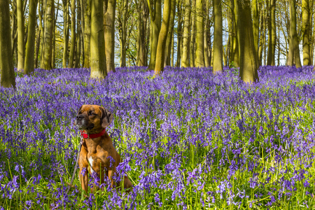 Cute Dog in Bluebell Woodland