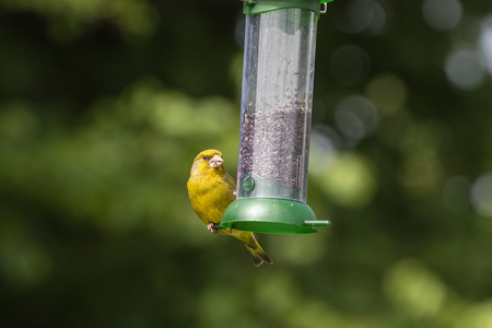 greenfinch: Greenfinch (Carduelis Chloris) feeding on nyjer seed from a feeder