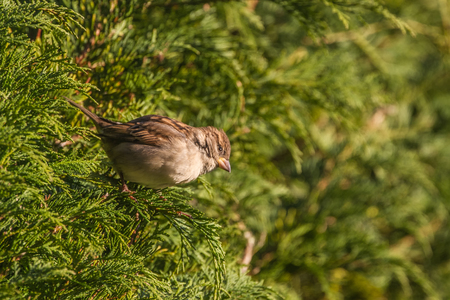 passer by: House Sparrow (Passer Domesticus) perched in hedgerow