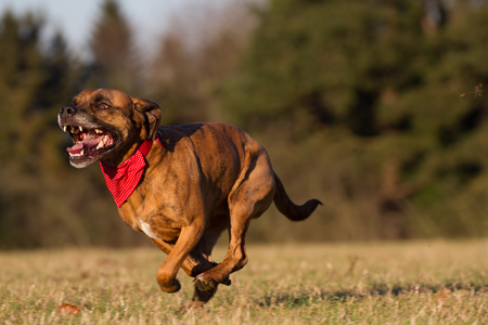 beagle terrier: Happy Pet Dog Running With Bandana in field, park or open space