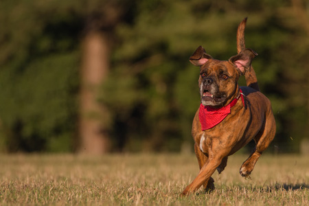 Happy Pet Dog Running With Bandana in field, park or open space