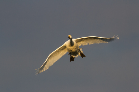 Bewicks Swan (Cygnus columbianus) in flight towards camera