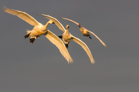 Bewicks Swans (Cygnus columbianus) in flight in beautful light