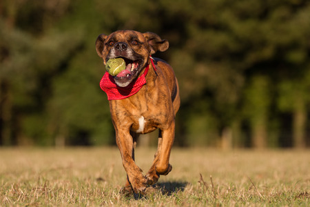 Happy Pet Dog Running With Ball in field, park or open space