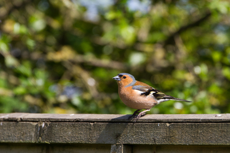 Male Chaffinch (Fringilla coelebs) perched on garden fence