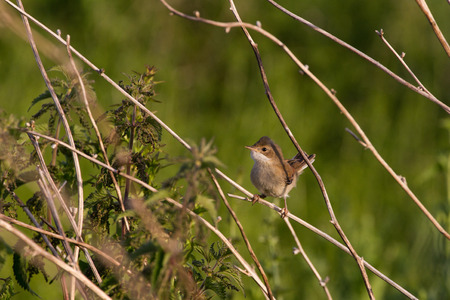 Juvenile Common Whitethroat (Sylvia Communis) perched on branch in farmland Stock Photo