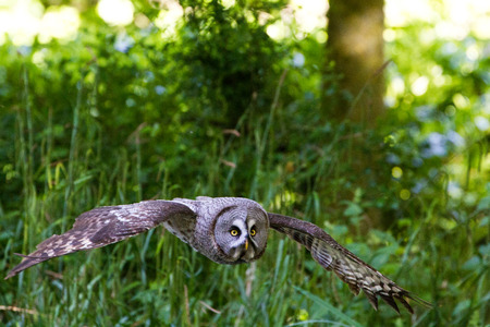 Great Gray Owl  or Great Grey Owl (Strix nebulosa)