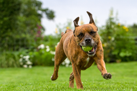 Beautiful Beagle cross with Staffordshire Bull Terrier running on lawn