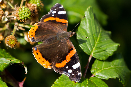 Red Admiral Butterfly (Vanessa atalanta) perched on a green leaf