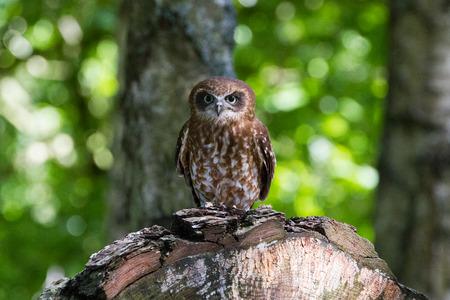 Southern Boobook Owl ((Ninox boobook) of Australisia Imagens