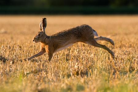 lapin: Lièvre européen (Lepus Europaeus) sur les terres agricoles, Oxfordshire, Royaume-Uni