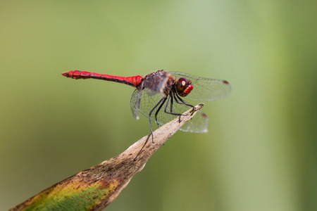 Ruddy Darter Dragonfly perched on a plant Stock Photo