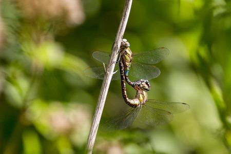 thorax: Migrant Hawker (Aeshna Mixta) Dragonfly during mating