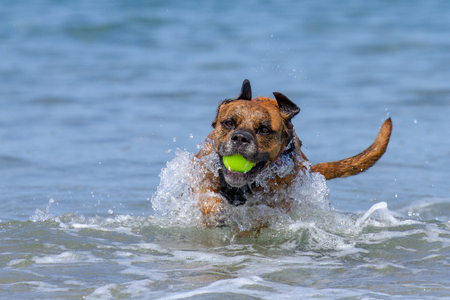 Happy Dog playing fetch on a seaside sandy beach, Pembrokeshire, UK