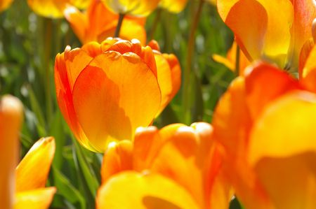 Field of Orange Tulips Stock Photo