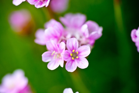 Closeup shot of flowering sea pinks armeria maritima stock photo closeup shot of flowering sea pinks armeria maritima stock photo 10119794 mightylinksfo