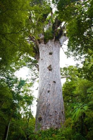 Tane Mahuta at Waipoua Kauri Forest on the North Island of New Zealand