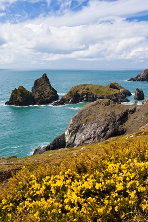 Flowering gorse on the cliffs with Kynance Cove in the Background, Cornwall England UK Stock Photo - 13211581