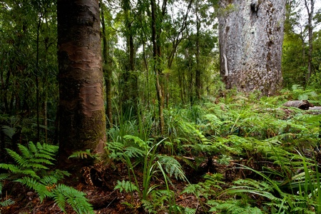 Te Matua Ngahere, Waipoua Kauri Forest, North Island , New Zealand Stock Photo