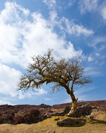 warren: Twisted tree at Headland Warren Dartmoor Devon UK