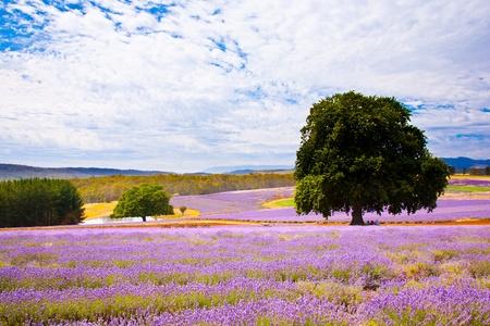タスマニアのオーストラリアのラベンダー畑 写真素材