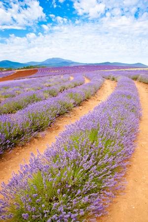 Lavender farm in Tasmania Australia