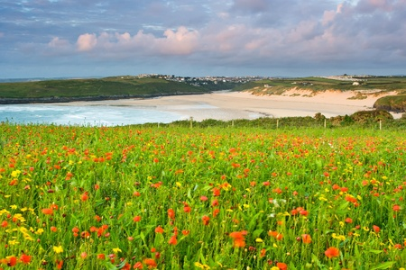 Field of Poppies and Corn Marigolds overlooking Crantock Beach Cornwall Stock Photo - 13211332