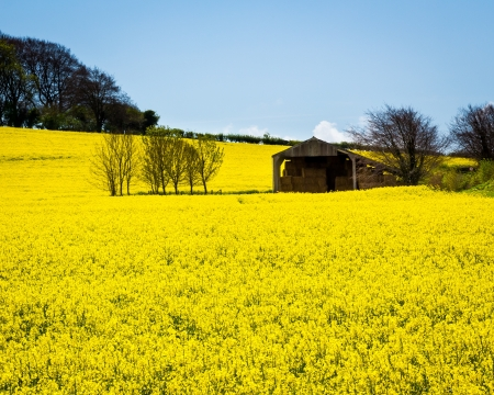 Field of Rapeseed Oil on a sunny day photo