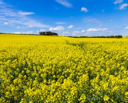Field of Rapeseed Oil on a sunny day Stock Photo