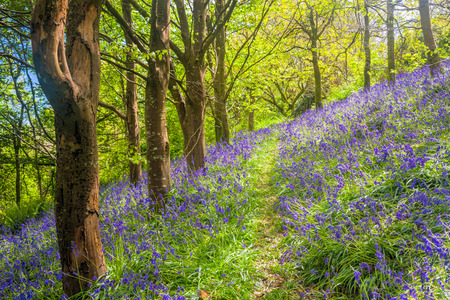 Spring in a beautiful Bluebells Woods Cornwall England UK Europe