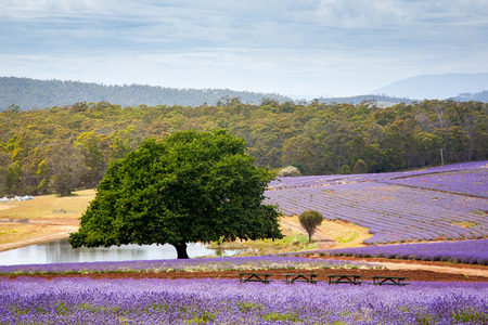 Beautiful Lavender farm in Tasmania Australia