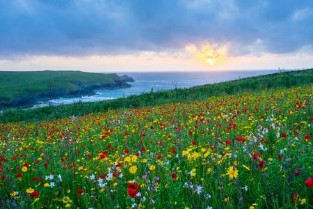 뉴 퀘이 콘월 영국 영국 유럽 근처 Porth는 농담 해변 위의 양 귀 비의 필드 위에 석양과 야생 꽃