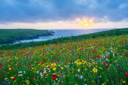 Sunset over a Field of Poppies and wild flowers above Porth Joke beach near Newquay Cornwall England UK Europe