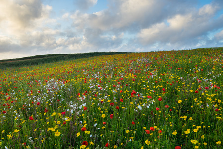 polly: Sunset over a Field of Poppies and wild flowers above Porth Joke beach near Newquay Cornwall England UK Europe